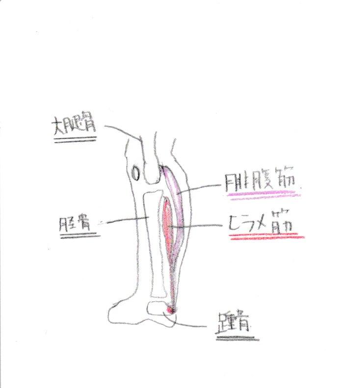 腓腹筋とヒラメ筋